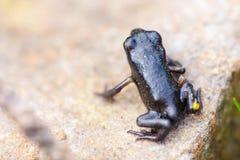 Petite grenouille noire de plan rapproché photo stock