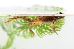 Petite grenouille parmi les plantes aquatiques Photographie stock libre de droits