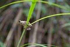 Petite grenouille sur l'mauvaise herbe Photos libres de droits