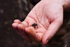 Petite grenouille sur la main humaine Image libre de droits