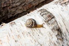 Petite hélice vive d'escargot de Bourgogne, escargot romain, escargot comestible, es Images libres de droits