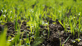 Petite herbe verte Photo stock