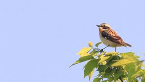 Petite hochequeue jaune se reposant sur la branche (flava de Motacilla) clips vidéos