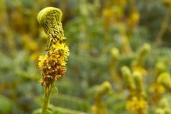 Petite horticulture jaune non identifiée près de Pune, maharashtra, Inde photo libre de droits