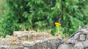 Petite horticulture le long du vieux mur de briques Images libres de droits