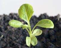 Petite jeune plante verte Photo stock
