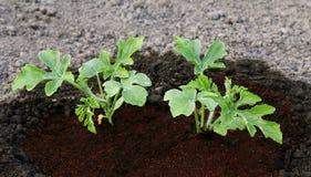 Petite jeune plante verte dans la terre Image stock