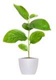 Petite jeune plante verte dans un pot de fleurs d'isolement au-dessus du blanc Images stock