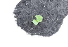 Petite jeune plante verte Ivy Gourd Photos libres de droits
