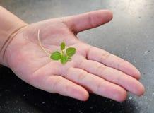 Petite jeune usine verte sur la main ouverte Photo libre de droits