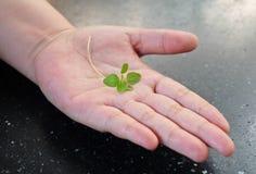 Petite jeune usine verte sur la main ouverte Photographie stock libre de droits