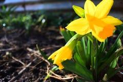Petite jonquille au printemps sur Rich Soil Image stock