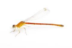 Petite libellule orange Images stock