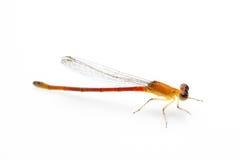 Petite libellule orange Image libre de droits