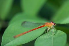 Petite libellule rouge Photos libres de droits