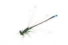 Petite libellule verte Photographie stock libre de droits