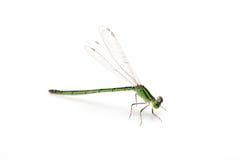 Petite libellule verte Photos libres de droits
