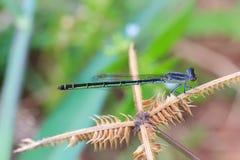 Petite libellule verte avec le fond de tache floue, macro de libellule, libellule en gros plan Photographie stock libre de droits