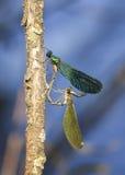 petite libellule verte se reposant sur une branche au-dessus d'un étang sous forme de coeur Photos libres de droits