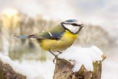 Petite mésange bleue dans la neige d'hiver Image libre de droits