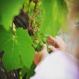 petite main dans les vignes Stock Photos