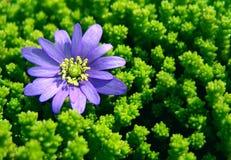 Petite marguerite bleue. Image stock