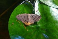 Petite mite sur la feuille de lotus Image stock