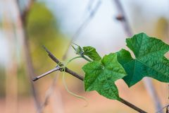 Petite moelle /courgette verte avec l'horticulture sur le lit végétal Photos stock