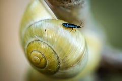 Petite mouche noire détendant sur une coquille jaune d'escargot Image libre de droits