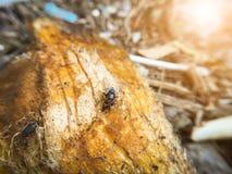 Petite mouche sur la graine de mangue Images libres de droits