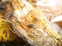Petite mouche sur la graine de mangue Photos stock