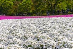 Petite mousse blanche rose sensible en gros plan Shibazakura, floraison de fleurs de subulata de phlox pleine au sol dans la jour photos stock