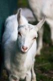 Petite nany-chèvre blanche Photographie stock libre de droits