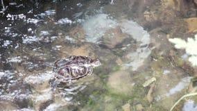 Petite natation brune de tortue clips vidéos