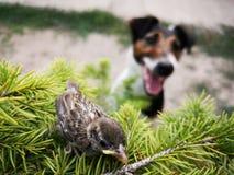 Petite observation de moineau et de chien Image libre de droits