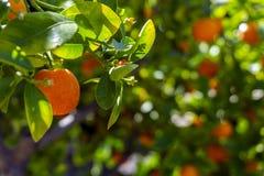 Petite orange sur la branche d'arbre, avec le fond brouillé Image libre de droits