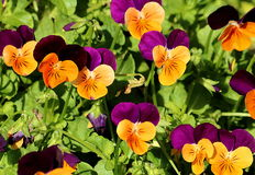 Petite Pansies Royalty Free Stock Photos
