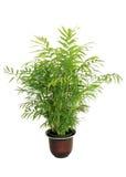 Petite paume en bambou mise en pot d'isolement sur le blanc Image stock