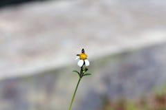 Petite perche d'abeilles d'insecte sur la fleur de marguerite Photographie stock libre de droits