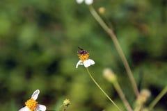 Petite perche d'abeilles d'insecte sur la fleur de marguerite Photo libre de droits
