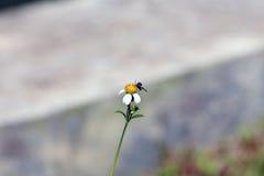 Petite perche d'abeilles d'insecte sur la fleur de marguerite Images stock