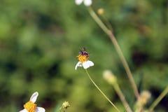 Petite perche d'abeilles d'insecte sur la fleur de marguerite Photos libres de droits