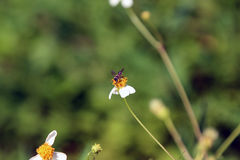 Petite perche d'abeilles d'insecte sur la fleur de marguerite Images libres de droits