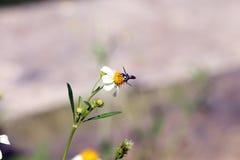 Petite perche d'abeilles d'insecte sur la fleur de marguerite Photographie stock