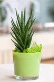 Petite plante d'intérieur dans un pot de fleur vert clair Photos libres de droits