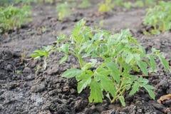 Petite plante de tomate sur le sol sec Images libres de droits