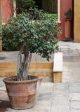 Petite plante en pot verte de bonsaïs sur le sentier piéton de voie entourant avec la maison mediteranian italienne de style Image stock