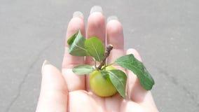 Petite pomme sur la main Images libres de droits