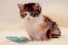 Petite pose norvégienne de chaton de chat de forêt image stock