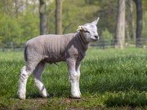Petite position d'agneau avec le morceau de corde de nombril image stock